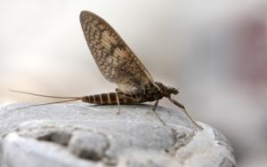 Ephemeroptera_2