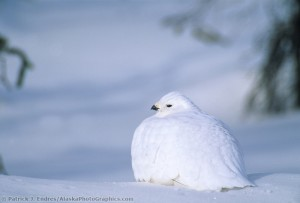 Willow ptarmigan on snow